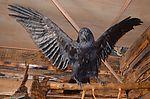 Сувенирное чучело ворона