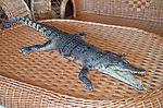 Сувенирное чучело крокодила